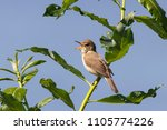 blyth's reed warbler sitting on ... | Shutterstock . vector #1105774226