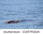 Hippopotamus Relaxing In River