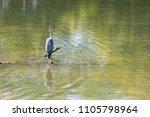a grey heron  ardea cinerea ... | Shutterstock . vector #1105798964