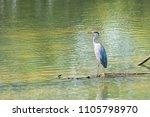 a grey heron  ardea cinerea ... | Shutterstock . vector #1105798970