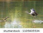 a grey heron  ardea cinerea  in ... | Shutterstock . vector #1105835534