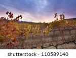 Autumn Vineyard Field After Th...