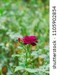 single midnight blue rose... | Shutterstock . vector #1105902854