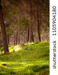 green pine forest in spring or...   Shutterstock . vector #1105904180