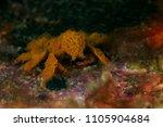 Small photo of Decorator Crab (Achaeus spp.)