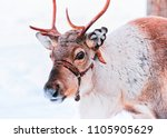 reindeer in winter snow forest  ... | Shutterstock . vector #1105905629