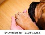 Bullmastiff Puppy Paw In A...