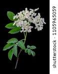 elderflower on dark background  ... | Shutterstock . vector #1105965059