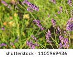 blooming lavender and insects.... | Shutterstock . vector #1105969436
