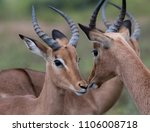 male and female impala  ... | Shutterstock . vector #1106008718