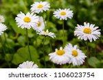 flowering of daisies. oxeye... | Shutterstock . vector #1106023754