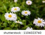 flowering of daisies. oxeye... | Shutterstock . vector #1106023760