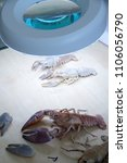crayfish biology education... | Shutterstock . vector #1106056790