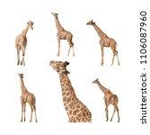 giraffe isolated on a white... | Shutterstock . vector #1106087960