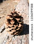 Small photo of A pine nob on the wood.