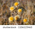 Thistle Flowers With Thorns....