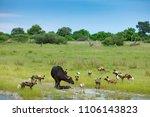wild dog hunting in botswana ...   Shutterstock . vector #1106143823