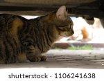 outdoor close up tabby cat... | Shutterstock . vector #1106241638