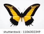 Stock photo close up on a androgeus swallowtail butterfly isolated on white background 1106302349