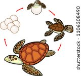 life cycle of sea turtle.... | Shutterstock .eps vector #1106308490