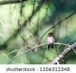 ruby throated hummingbird male  ... | Shutterstock . vector #1106312348