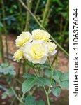 charlotte rose in the garden | Shutterstock . vector #1106376044