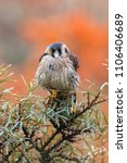 common kestrel  falco... | Shutterstock . vector #1106406689