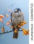 common kestrel  falco... | Shutterstock . vector #1106406713
