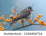 common kestrel  falco... | Shutterstock . vector #1106406716