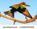 exotic bird lands on a branch ... | Shutterstock . vector #1106449403