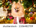a dog of the spitz breed of red ... | Shutterstock . vector #1106482709