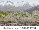 cherry blossom in jerte valley  ... | Shutterstock . vector #1106491988