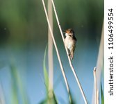 singing reed warbler ... | Shutterstock . vector #1106499554