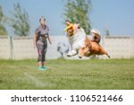 collie dog catches a flying... | Shutterstock . vector #1106521466