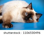 Ragdoll Colourpoint Cat
