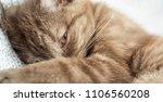 chocolate scottish straight... | Shutterstock . vector #1106560208