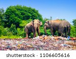 few indian elephants walking... | Shutterstock . vector #1106605616