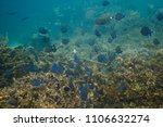 Small photo of School of acanthurus coeruleus in a coral reef