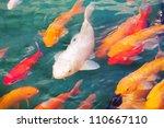 Beautiful Koi Fish Swimming In...