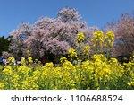 the huge cherry trees in full...   Shutterstock . vector #1106688524