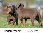 Stock photo puppies playing 110672399