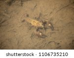 Small photo of The signal crayfish (Pacifastacus leniusculus) is a North American species of crayfish. It was introduced to Europe in the 1960s, now considered an invasive species across Europe.