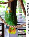 Small photo of Orange-winged Amazon Parrot (Amazona amazonica)