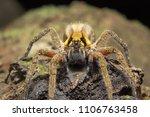 Small photo of Wandering spider, Ctenus sp, Ctenidae Trishna Tripura India