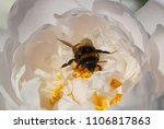 close up of bumblebee inside... | Shutterstock . vector #1106817863