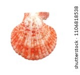 shell on white background. pink ... | Shutterstock . vector #1106818538