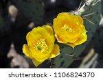 desert sonora. cactus flower | Shutterstock . vector #1106824370