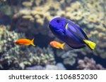 Beautiful Paracanthurus Hepatu...