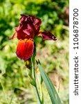 beautiful iris flower on... | Shutterstock . vector #1106878700