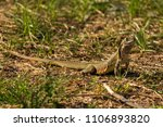 oriental garden lizard  eastern ... | Shutterstock . vector #1106893820